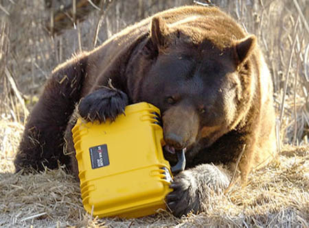 peli-storm-case-medium-yellow-with-bear-450px.jpg